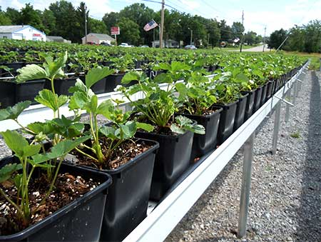 Hydroponic strawberries for a longer season of sweet delicious strawberries at Gro Moore Farms in Henrietta, NY
